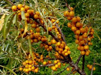 Облепиха - одно из самых известных целебных растений